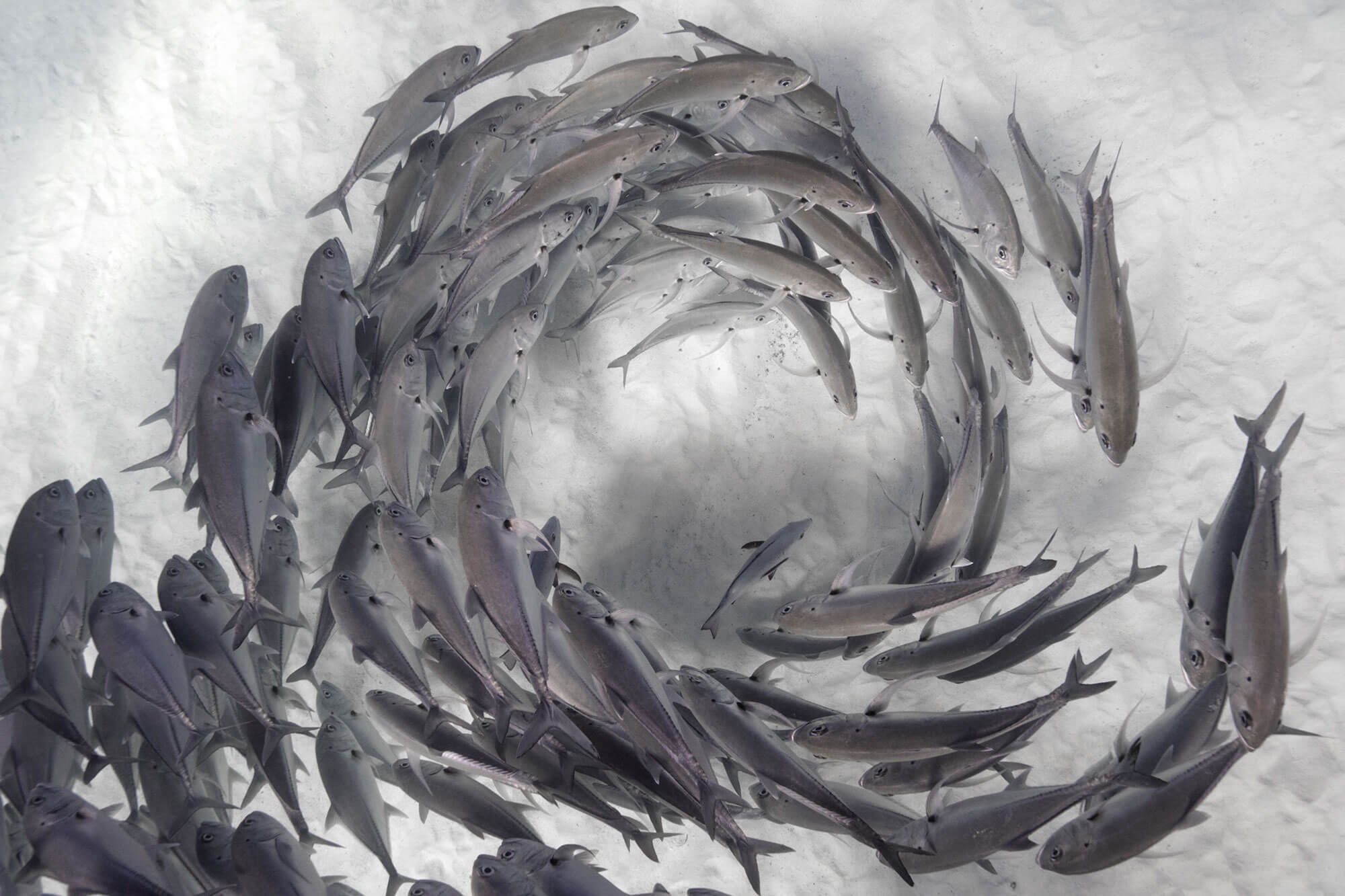 Photo of fish swimming in circular formation by Craig Parry