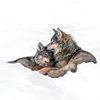 Love is Love. Wolf pack leader and juvenile, Bardu, Northern Norway